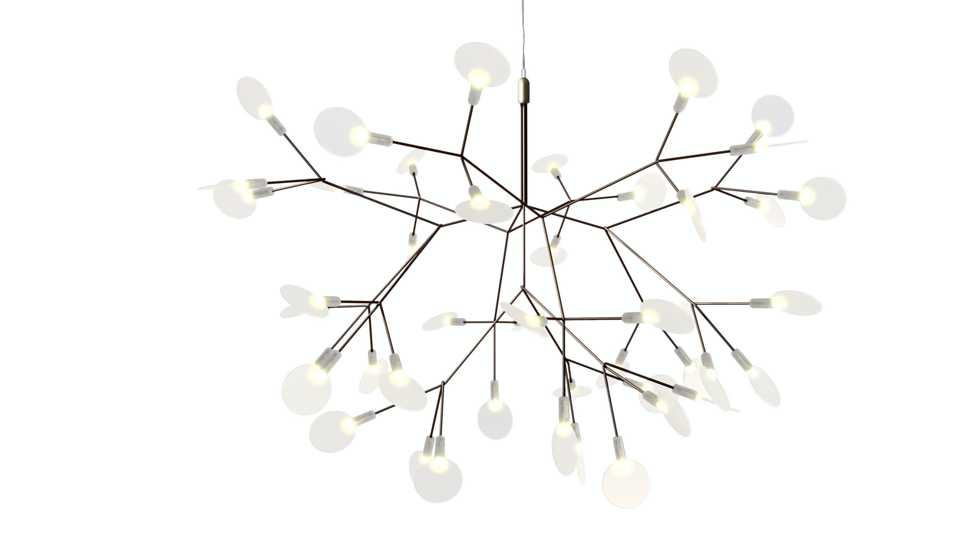 Heracleum Ll Small 2